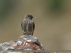 Dark-sided Flycatcher (Muscicapa sibirica) (gilgit2) Tags: avifauna birds canon canoneos7dmarkii category darksidedflycatchermuscicapasibirica fauna feathers geotagged gilgit gilgitbaltistan imranshah location naltar pakistan species tags tamron tamronsp150600mmf563divcusd wildlife wings gilgit2 muscicapasibirica