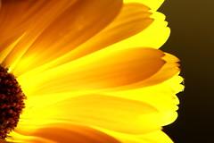 The Glow (acwills2014) Tags: macromondays backlit thegem gem yellow light