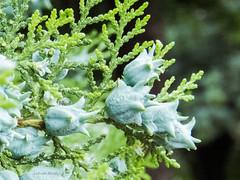 Coronitas celestes (Letua) Tags: flores flora vegetacion naturaleza nature verde green flowers celeste lightblue bokeh
