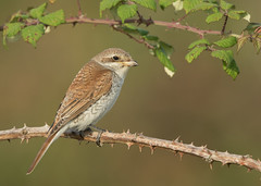 Red-backed Shrike - Lanius collurio (Gary Faulkner's wildlife photography) Tags: redbackedshrike laniuscollurio sussexbirds