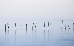 Soft scene of seagulls standing on top of sticks (jack-sooksan) Tags: beautiful nature morning atmosphere environment gray sky cloudy reflection reflex mirror shadow silhouette seagull stand bird surface beach ocean water season flat white skyline float landscape river lake wave dramatic animal gull stick poultry soft smooth cold cool winter mist fog haze dust group blue rest sit