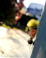 reflection.spider (C.Kalk DigitaLPhotoS) Tags: spinne spider animal tier arachnida fauna makro macro bokeh reflektion reflection 8legs outdoor kalk ckalk christopherkalk ckalkdigital