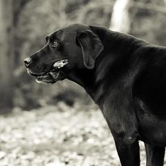 Faithful companion (Chris Johnston Photography) Tags: buddy labrador blacklab dogs pets mansbestfriend pentaxk1 100mm pentaxart