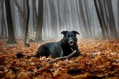 Best friend (246pas) Tags: labrador blackdog mistyforest autumnleaves fog chien foret quebec automne feuillage