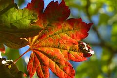 Acer japonicum Itaya 3 (wundoroo) Tags: nybg newyorkbotanicalgarden newyork bronx fall autumn november leaves maple acer