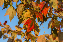 Leaves of Fall (J.L. Ramsaur Photography (Thank You for 4 million ) Tags: jlrphotography nikond7200 nikon d7200 photography photo cookevilletn middletennessee putnamcounty tennessee 2016 engineerswithcameras cumberlandplateau photographyforgod thesouth southernphotography screamofthephotographer ibeauty jlramsaurphotography photograph pic cookevegas cookeville tennesseephotographer cookevilletennessee bluesky deepbluesky beautifulsky nature outdoors macro macrophotography closeupphotography closeup dof depthoffield bokeh godsartwork naturespaintbrush fall fallcolors fallleaves fallseason fallinthesouth colorful colors autumn autumncolors autumninthesouth autumnleaves falltrees autumntrees leavesoffall leaves leaf red orange yellow blue