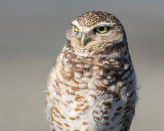 San.Francisco.KD.20160227.101037 (KDsPictures) Tags: february2016 oceanbeach sf birds burrowingowl nature owls sunsetdistrict