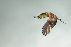 Red Kite (Ady G.) Tags: wales milvusmilvus accipitridae flight 1dmarkiv nature bif bird kite wildlife birdofprey raptor oxfordshire 500f4 1d4 canon chilterns redkite