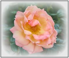 P1150242-001  Peach rose (hartley_hare7491) Tags: each rose