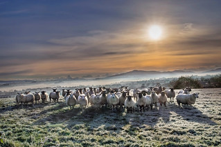 Flock in the Frost