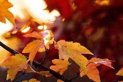 November (David Youngblood) Tags: colors sun a77ii sonyalpha a77mk2 leaf leaves orange yellow red tree branch fall autumn november sunset