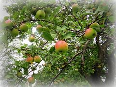 Apples--Explored! (yooperann) Tags: summer tree apple yard garden michigan upper late jeffrey peninsula carrier yoopers ishpeming