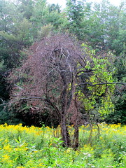 tree strangled by bittersweet vine, KHNP, 22 Aug 2015 (mwms1916) Tags: goldenrod newhampshire vine newlondon strangled bittersweet appletree nlcc khnp newlondonnh newlondonconservationcommission knightshillnaturepark