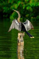 Anhinga (SVALDVARD) Tags: bird birds nicaragua josegabriel svaldvardink svaldvard josegabrielmartinez