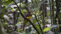 Que pássaro é esse? / Which bird is it? (ricardo.baena) Tags: brazil nature brasil natureza paranapiacaba notreatment semtratamento a6000