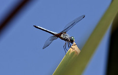 Blue Dasher Dragonfly -- Male (Pachydiplex longipenis); Albuquerque, NM, Tingley Beach Park [Lou Feltz] (deserttoad) Tags: park lake newmexico nature water insect pond dragonfly odonate