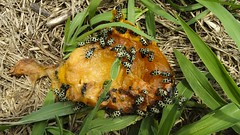 Vaquinhas 03 (Parchen) Tags: natural natureza inseto insetos vaquinha insecta parchen carlosparchen cerotomaarcuatus