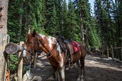 Mountain horse (Mark Heine Photos) Tags: ca horse canada mountains rocks trail alberta lakelouise pinetrees banffnationalpark canadianrockies improvementdistrictno9 markheine