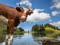 Bath time for a Swiss Cow ! (lucien_photography) Tags: mountain lake alps water montagne switzerland cow bath funny suisse swiss beef lac soe vache laclioson