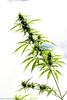 Cannabis stem (f/4) Tags: india manali cannabis himachal tosh kullu hashish pradesh charas parvati
