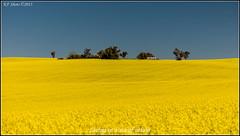 0O1A1529 (kth_friend) Tags: flickr au australia nsw newsouthwales woodstock canola cowra australianplaces