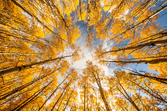 _MG_7678.jpg (tmo-photo) Tags: autumn trees fall october colorado grove aspen tmophoto