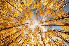_MG_7678.jpg (tmo-photo) Tags: autumn trees fall october colorado grove aspen tmophoto