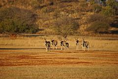 Hannah Lodge -  South Africa (Magdeburg) Tags: africa game south hannah lodge antelope common eland oryx limpopo kudu taurotragus elenantilope commoneland taurotragusoryx burgersfort hannahlodge elandantelope hannahgamelodge hannahlodgesouthafrica hannahgamelodgesouthafrica ohringstad
