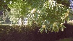Chataignes Rosendael (Nelis Zevensloot) Tags: rosendael rozendaal