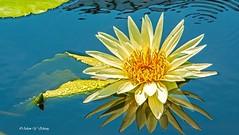 Beauty and its Reflections (  (Thank you, my friends, Adam!) Tags: macro beautiful beauty closeup reflections nikon waterlily gorgeous dslr
