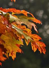 Westonbirt 4 (Lostash) Tags: life autumn trees plants colour nature leaves leaf flora seasons autumnal westonbirtarboretum