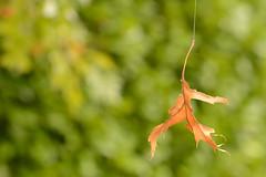 Feuille morte en suspension... (cl_p) Tags: nature automne feuille feuillemorte