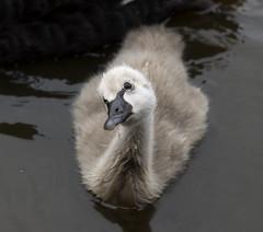 Black_Cygnet (photo.vandal) Tags: baby black cute bird eye swan cygnet fluffy beady swanling featherswaterdroplets