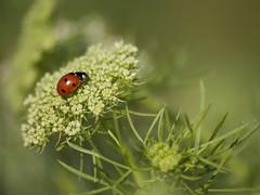 Lady sur lit de dentelle  ***-- °° (Titole) Tags: ladybug ladybird queenanneslace daucuscarota carottesauvage titole nicolefaton green red friendlychallenges spotmetering mesurespot thechallengefactory storybookwinner