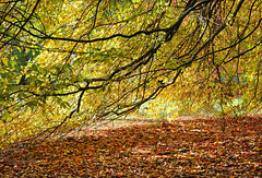 'Colourful Canopy' - 298/365 (SONICA Photography) Tags: eztd eztdphotography sussex eastsussex nikond90 autumn otono automne 2015 autumncolour sheffieldpark sheffieldparkgarden nt nationaltrust project365 day298 p365 365photosinayear 3652015 aphotoadayproject aphotoaday sonica imagessonica photography