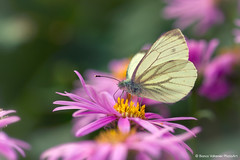 Hungry (Bianca Valkenier PhotoArt) Tags: flower nature butterfly insect nederland nectar gelderland dodewaard