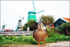 Che hai da guardare? (M_Verdina) Tags: boss sky holland verde amsterdam animals mare erba cielo vacancy animali vacanza olanda vento papera mulini canali muliniavento