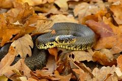 Ringslang (jehazet) Tags: snake slang natrixnatrix ringslang jehazet
