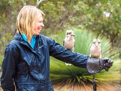 Kookaburra madness