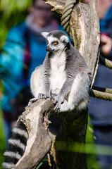 Ring-Tailed Lemur (Mathias Appel) Tags: world tree cute feet animal animals festival fur zoo eyes hands nikon bokeh adorable ring lemur augen madagascar baum fell tailed tier hände niedlich katta catta madagaskar süs tierpart füse d7000 grã¼n