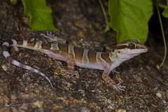 Inland Ring-tailed Gecko (R. Francis) Tags: qld queensland mountmolloy mountcarbine ryanfrancis cyrtodactylusmcdonaldi ryanfrancisphotography inlandringtailedgecko