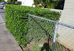 Murraya-paniculata_McCullyLime-Honolulu_Cutler_20151130_154617 (wlcutler) Tags: hawaii waikiki honolulu murraya murrayapaniculata