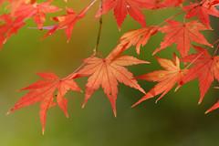 Acer palmatum (Weston) Tags: autumn red green fall nature colors leaves leaf bokeh foliage momiji japanesemaple acerpalmatum kaede