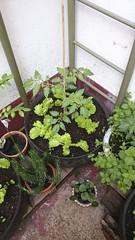 Ensalada fresca (Moraiya) Tags: plantas romero lechuga menta neumticos huerto macetohuerto tomatera