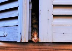 Hello! (Laurence L) Tags: wood blue window cat eyes chat expression yeux bleu bois fenetre regard museau volet tamron1750 canon700d
