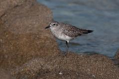 Winter Looks (martytdx) Tags: ca birds monterey plover ptpinos shorebird pluvialis pluvialissquatarola blackbelliedplover charadriidae