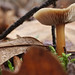 Mushroom in the forest of Oftersheim