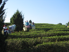 Thailand - Doi Mae Salong - Choui Fong Tea plantation - Picking tea (JulesFoto) Tags: thailand teaplantation goldentriangle doimaesalong teapickers chouifongtea