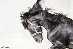 Frisian horse (buba_noi) Tags: horse black pferd frisian friese rappe