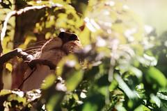 dans les branches (Chamaloote & Fabrizio) Tags: nature animal zoo lumire branches moustache feuille sauvage museau lionne parcdesflins parcanimalier canon7dmarkii chaphotography